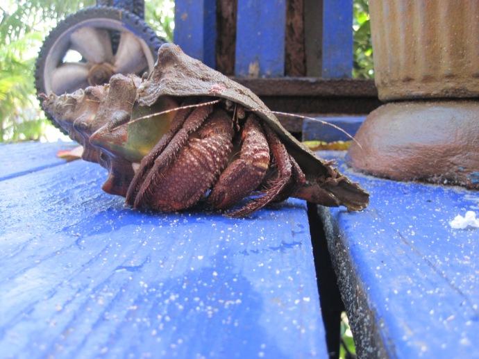 Giant Hermit Crab, Bentleys new toy