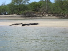 Crocs basking in the sun